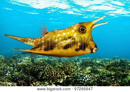 Tropical sea fish - Longhorn cowfish -Lactoria cornuta