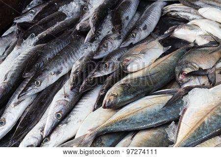 Fresh Barracuda Fish On Ice