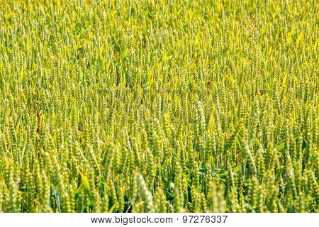 Young Wheat Field