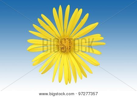 Isolated Ox-eye flower