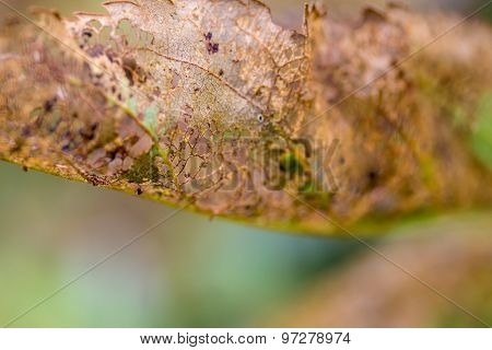 Closeup Of Insect Eaten Fruit Tree Leaf