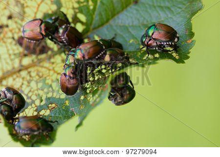 Japanese Beetles Popillia Japonica On Leaf
