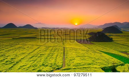 Yellow rapeseed flower field in sunset in Luoping, Yunnan, China