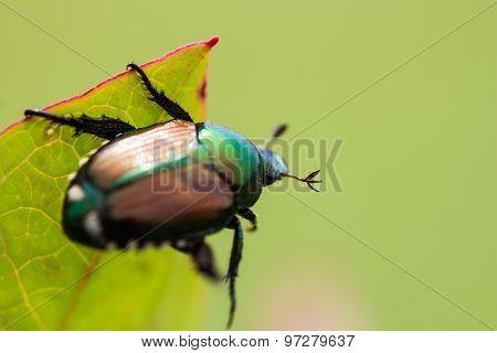 Japanese Beetle Popillia japonica on Leaf