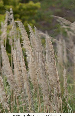Sea oat, Uniola paniculata
