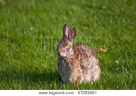 Rabbit resting with eye closed in grass