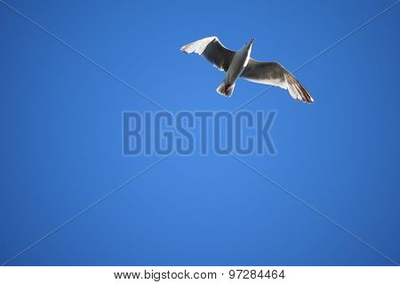 Seagull Flying in Blue Sky