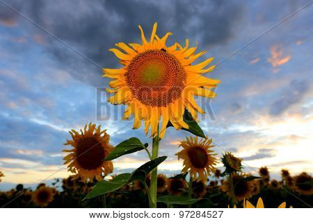 Nice sunflowers against dark evening sky