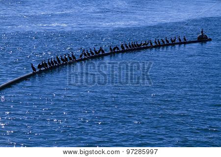 Black Sea Birds in the Sea