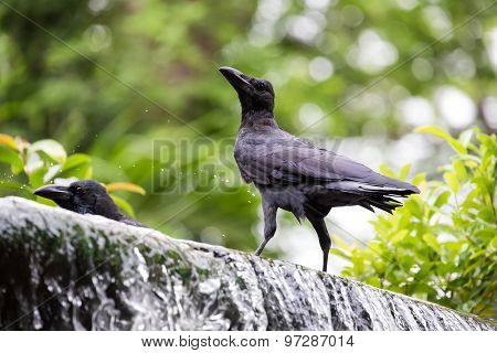 Crows On Waterfall
