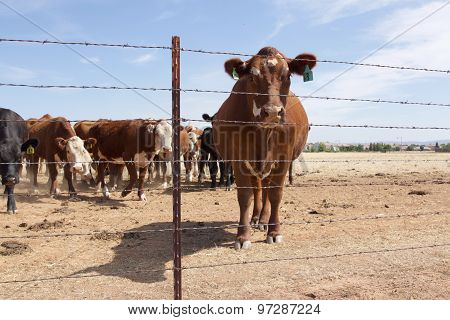 Cow Behind Fence