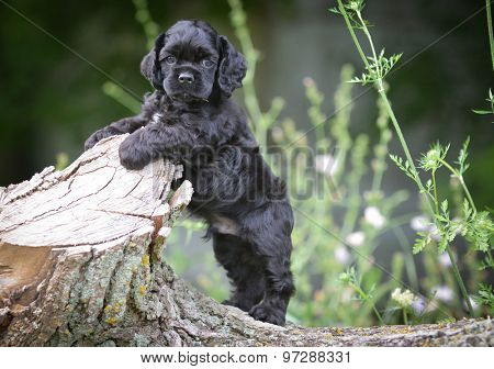 cocker spaniel puppy outdoors - 7 weeks old