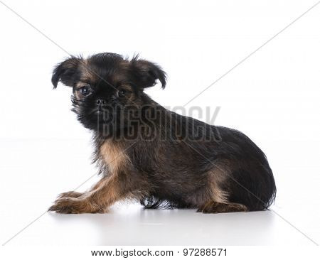 brussels griffon puppy laying looking at viewer on white background