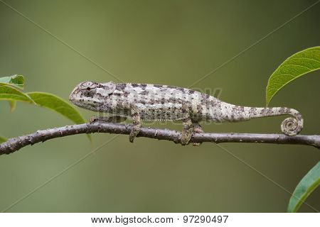 Flap-necked Chameleon (chameleo Dilepis) Crawling Along  A Branch
