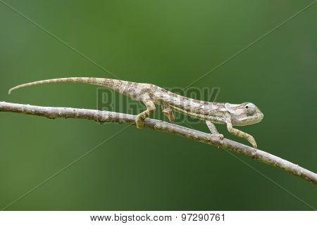 Flap-necked Chameleon (chameleo Dilepis) Creeping Away On A Branch