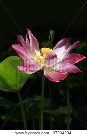 Pink Water Lilly