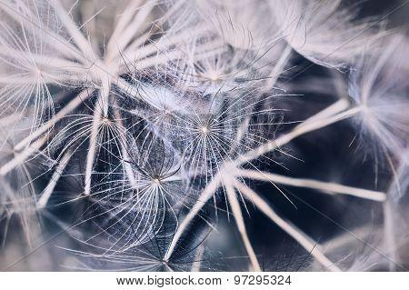 Macro Image Of Big Beautiful Dandelion.
