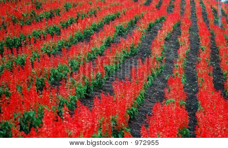 Field Of Red Salvia