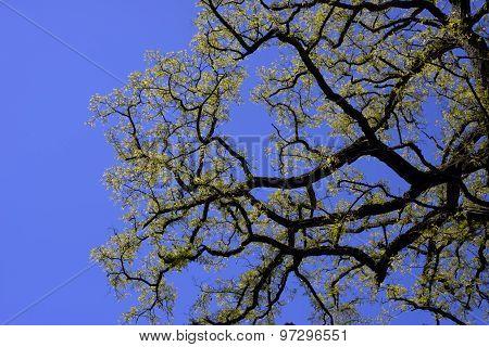 False Acacia Sky Blue