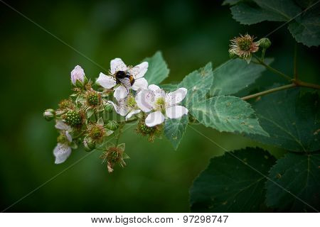 Bumble bee pollinating a flower blackberry .