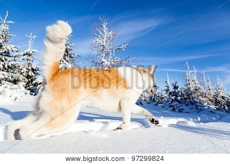 Dog On Winter Hiking In Mountains
