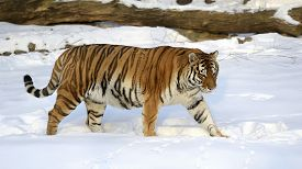 picture of predator  - Ussuri tiger goes on snow - JPG