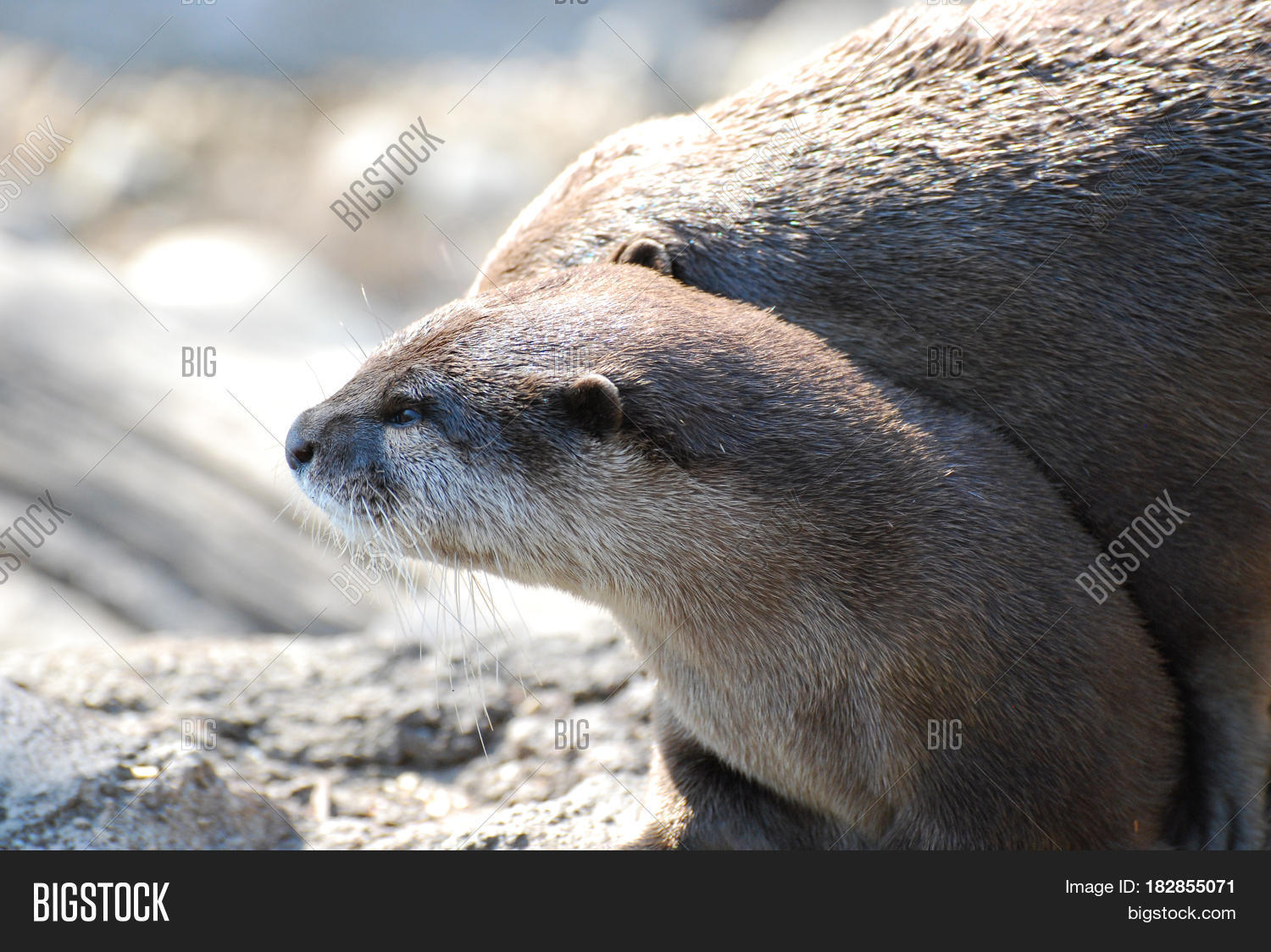 otter big and beautiful singles Gay men often use descriptive terms to identify and label other men within the wider gay community no doubt you've heard of some of these labels, like jock, otter, bear, cub, wolf, and so.