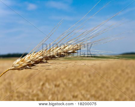 Wheatfield with barley spike