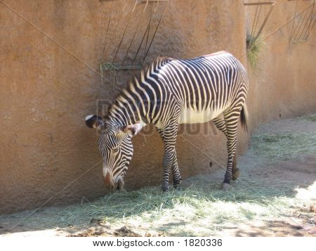 Lonely Zebra