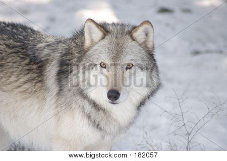 Timber Wolf Closeup