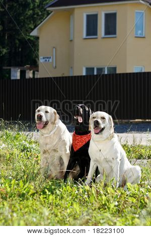three dog puppies of golden retriever
