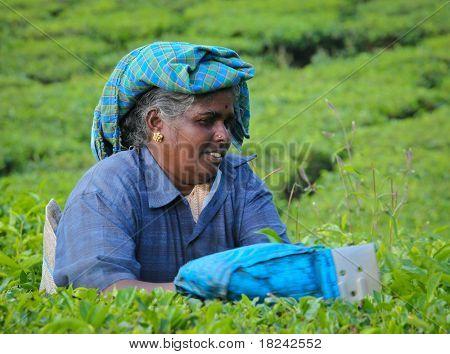 MUNNAR, Indien - Dezember 7: Eine unbekannte Frau Kommissionierung Teeblätter auf einer Teeplantage auf Dezember