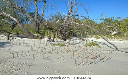 Driftwood, Deadwood And Mangrove Shoots On White Sandy Frazer Island Beach.