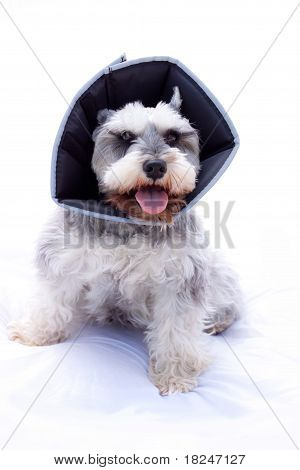 miniature schnauzer wearing elizabethan collar