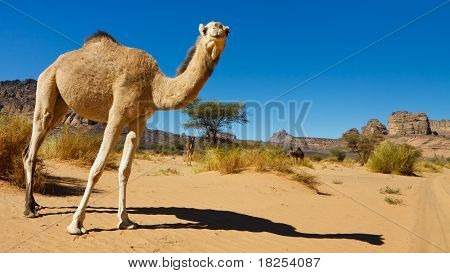 Camel In The Desert - Akakus (acacus) Mountains, Sahara, Libya