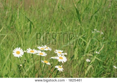 Grass With A Camomile