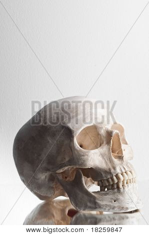 Anatomically Correct Medical Model Of The Human Skull