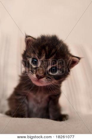 The Small Kitten