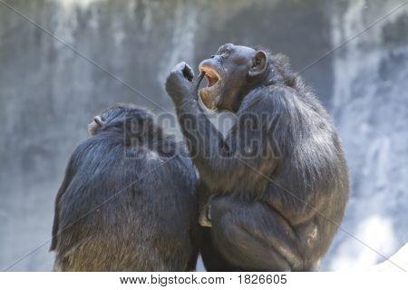 Chimpanzee 21