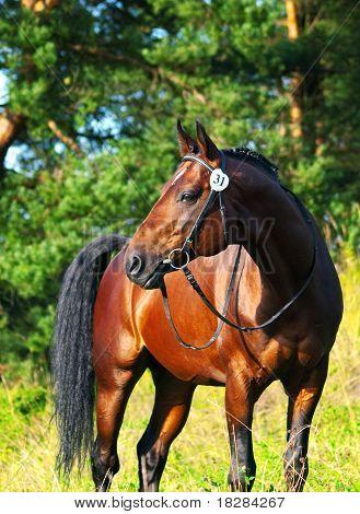 beautiful trakehner stallion
