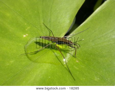 Pond Skater On Lily-pad