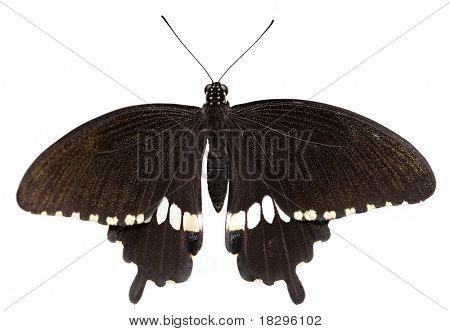 Family: papilionidae. Species: Papilio polytes (male) (Common Mormon, Kleiner Mormon, Mormon Commun) native to India, Nepal, Shri-Lanka, Thailand, southern and western China, Japan, Laos, Vietnam