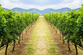 Vineyard Pathway And Mountain Background Landscape On Hill poster