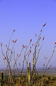 image of ocotillo  - An ocotillo plant blooming in the desert - JPG