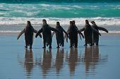 stock photo of falklands  - Rear view of seven king penguins entering the ocean at Volunteer Point Falkland Islands - JPG