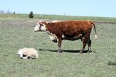 pic of hereford  - Hereford cow standing in a small pasture with a Ram lying in the grass - JPG