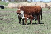 image of hereford  - Hereford calf suckling on its mother - JPG
