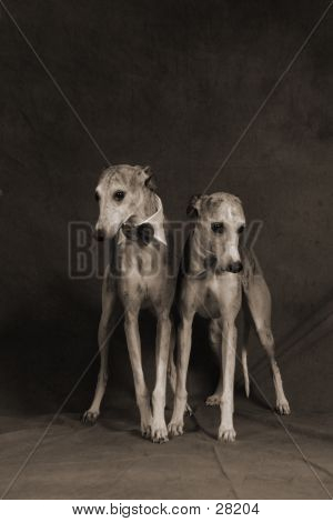 Two Whippets