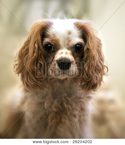 Portrait of a Cavalier King Charles Spaniel. Intentional shallow depth of field with focus on eye.