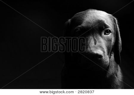 Labrador Puppy Head On - Light/Dark
